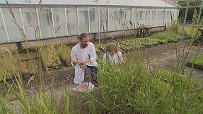Supergrass: harvesting the energy potential of riverbank plants