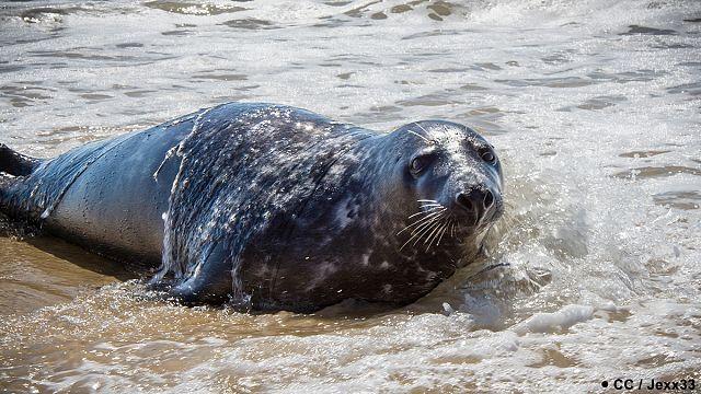 France : le phoque « You », animal non grata en Gironde