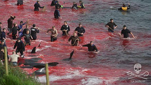Αποτρόπαια σφαγή 250 φαλαινών στα Νησιά Φερόε