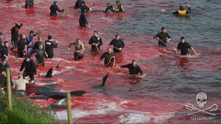 Activistas de Sea Shepherd detenidos en una caza de ballenas en las Islas Feroe
