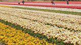 Голландские тюльпаны попали под запрет