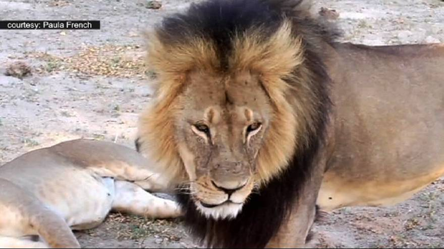 Outrage after Zimbabwe's Cecil the lion is killed by an American dentist