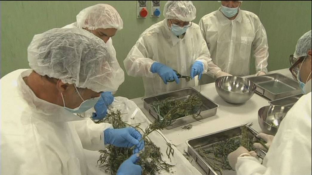 Italy's army bringing down the cost of getting high on medical marijuana