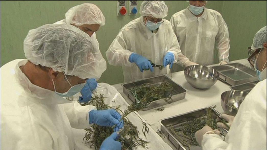 Italia prepara su primera producción de cannabis con fines terapéuticos