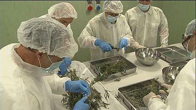 Italienisches Militär pflanzt Cannabis an