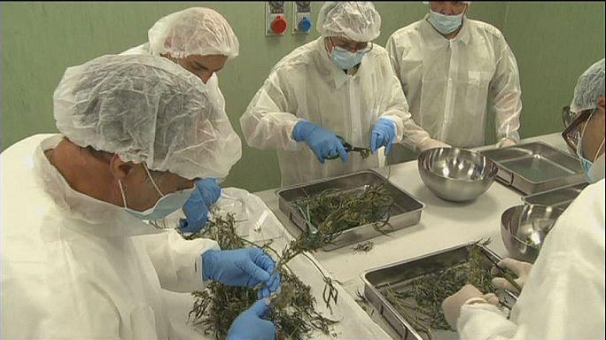 Marihuanát termeszt az olasz hadsereg a lakosság számára