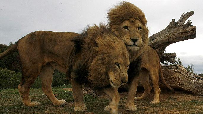 صيد الحيوانات في أدغال أفريقيا... تجارة رابحة