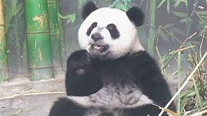 Dreifacher Panda-Bär-Geburtstag