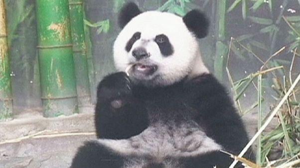 Premier anniversaire des pandas triplés