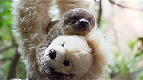 Teddy sloth