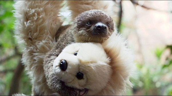 O peluche da preguiça