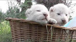 Beyaz aslan yavruları ziyaretçilerle buluştu