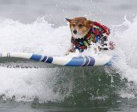 Californie: compétition de surf pour chiens