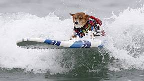 Surfing dogs battle it out in California contest