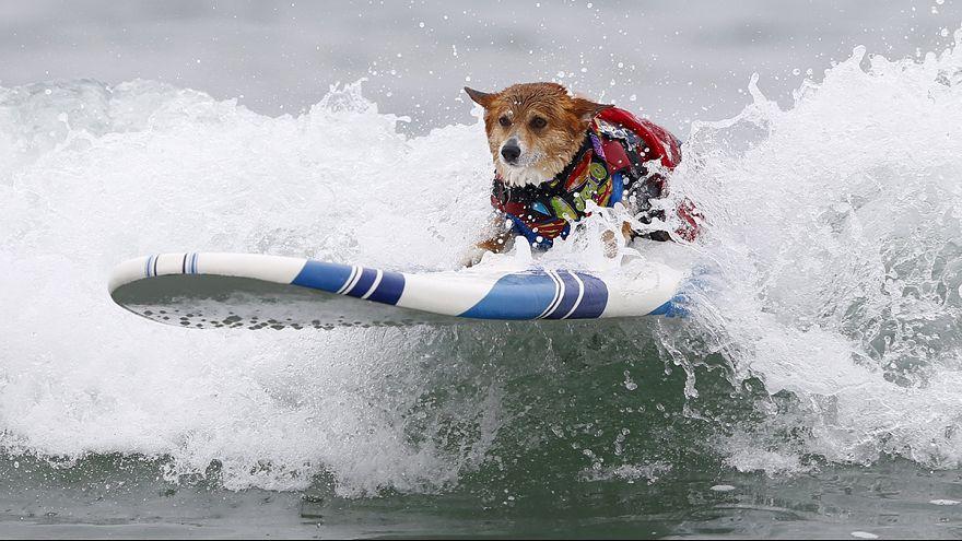 Több mint 50 kutya szörfdeszkázott Kaliforniában