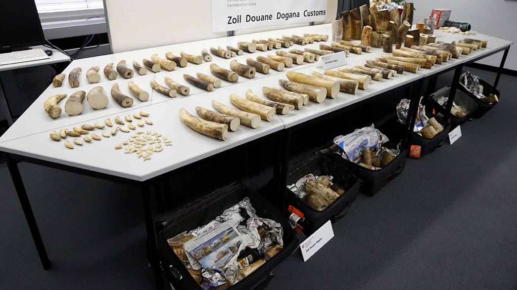 La douane suisse saisit 262 kilos d'ivoire de contrebande