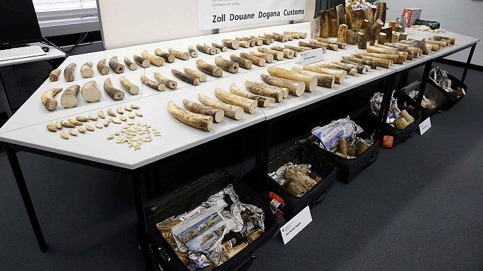 Zürih Havaalanı'nda 262 kg kaçak fildişi ele geçirildi