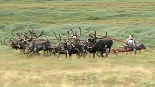 Corsa di renne in Russia