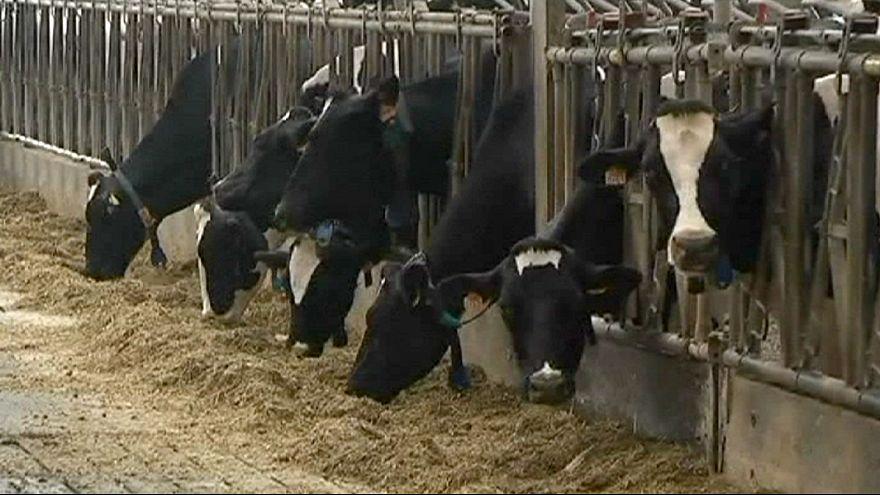 بلجيكا تعزل 150 حظيرة أبقار تفاديا لانتشار داء السّل
