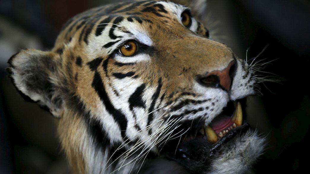Indien: Bereits 41 tote Tiger im laufenden Jahr