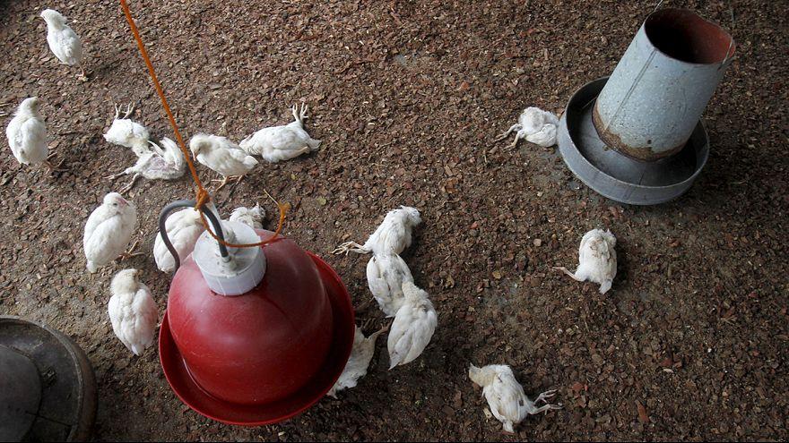 Gripe aviária progride na Costa do Marfim