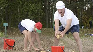Belarus' Lukashenko picks potatoes in campaign photo op