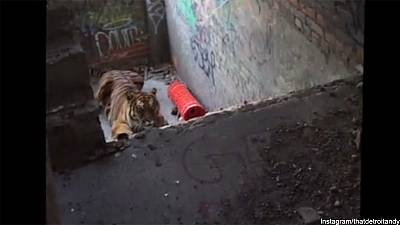 Tiger escapes on set of Detroit photoshoot