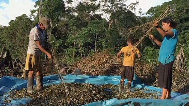 A rendőrség letarolja a kokaültetvényeket Peruban
