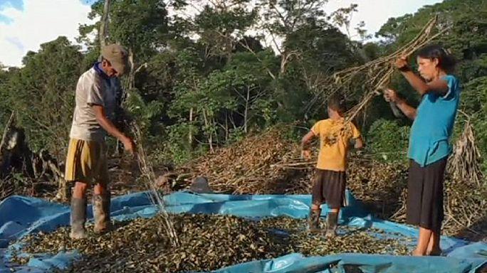 البيرو: حملة حكومية على مزارع الكوكا
