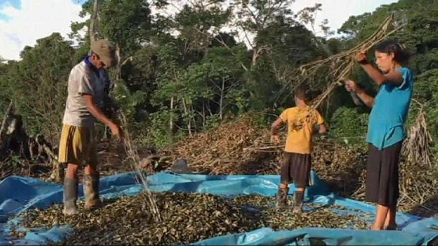 Au Pérou, les cultivateurs de coca victimes de la lutte contre le trafic de drogue
