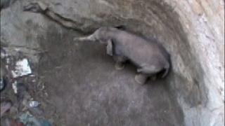 Baby Indian elephant rescued from well