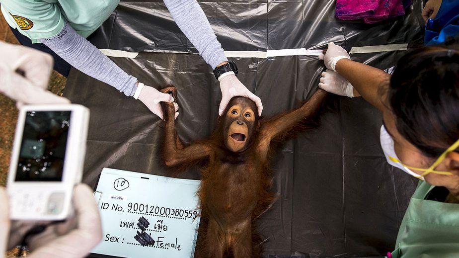 L'examen médical d'un Orang-outan avant son retour en Indonésie
