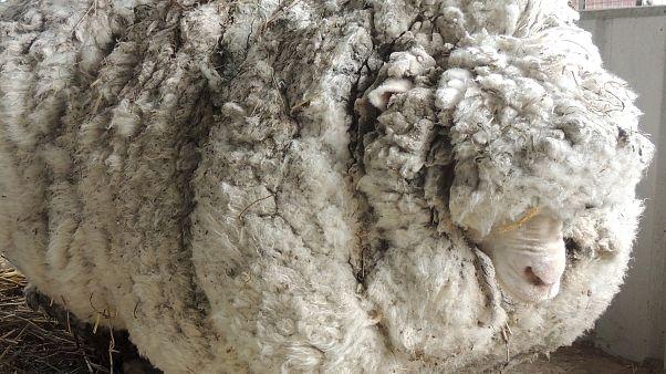 Ovelha com excesso de lã encontrada na Austrália