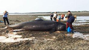 Beachgoers try to save 30-foot long shark