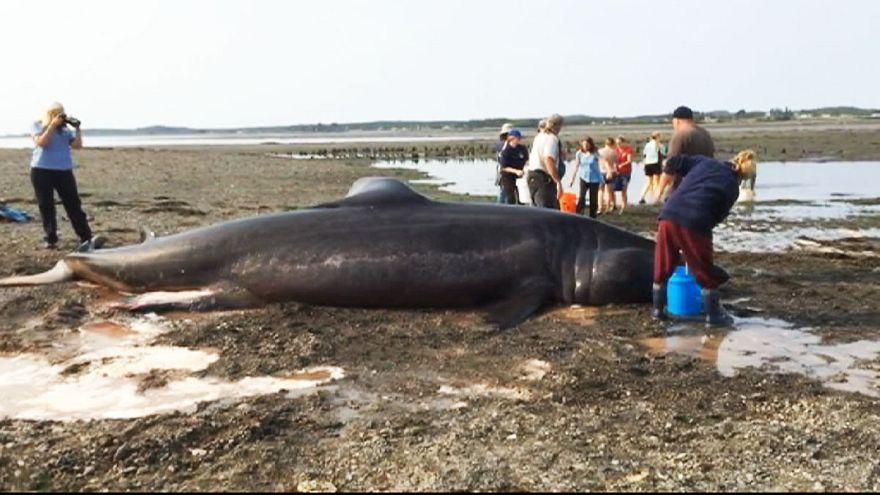 Un grupo de bañistas intentan salvar a un tiburón gigante