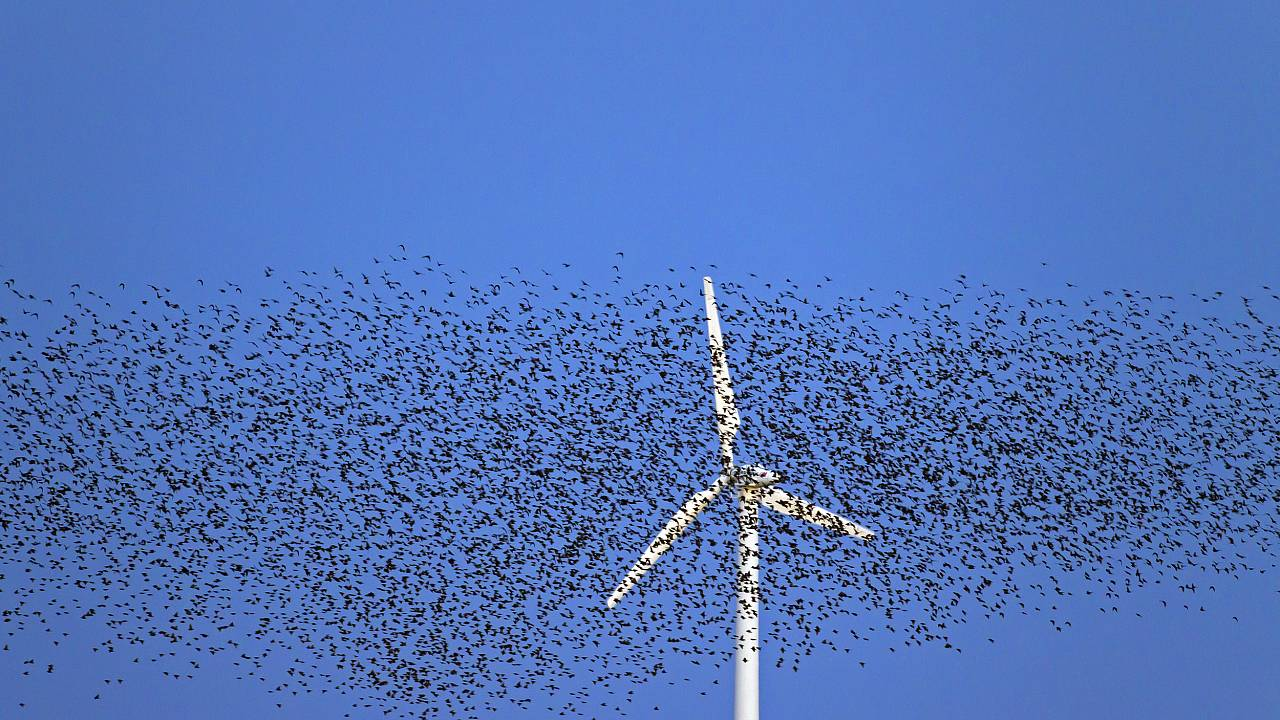 Image: A large flock of common starlings fly past a wind turbine