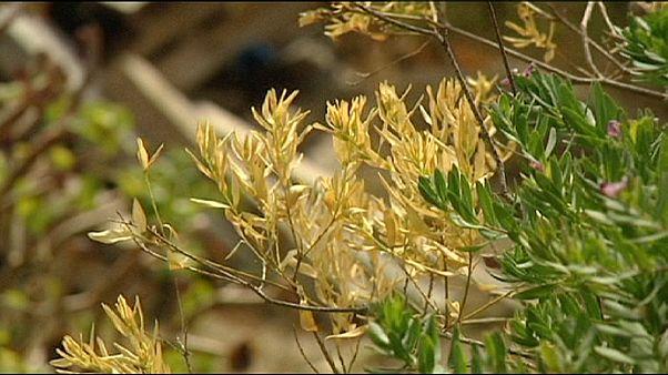 كزيليلا فاستيديوزا تقتل نباتات كورسيكا