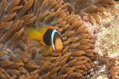 A clown fish hovers next to sea anenomes in the Great Barrier Reef.