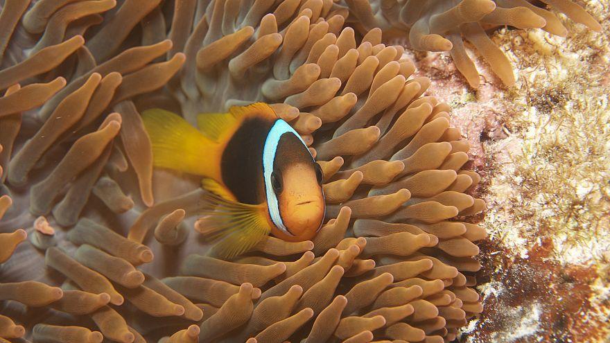 Image: clown fish