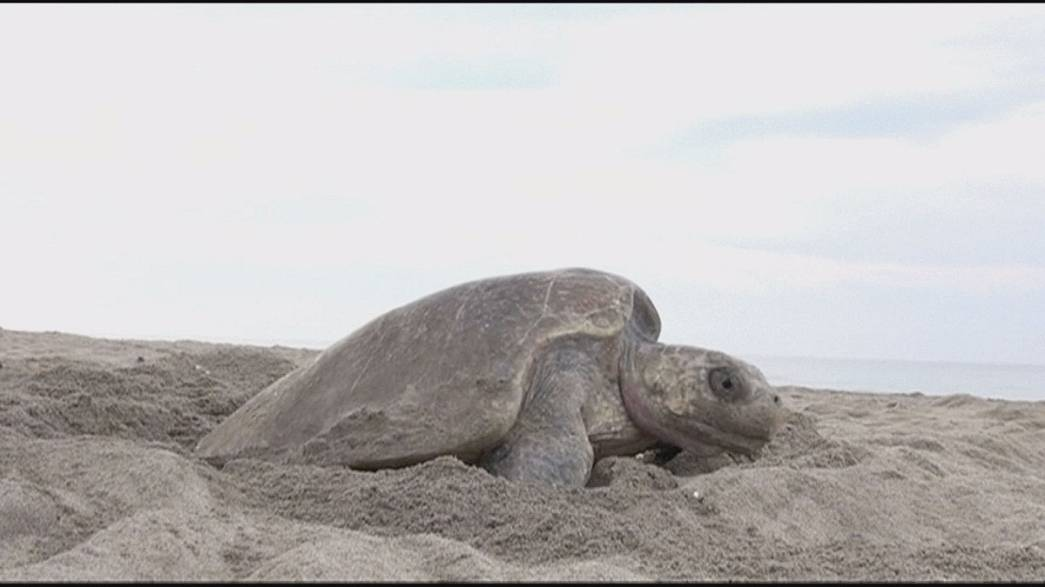 Mexico: drones to fight turtle poachers