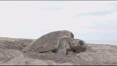 Drones em defesa das tartarugas