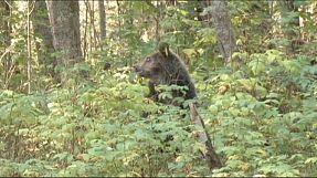 Russland: Verwaiste Bärenjungen wieder ausgewildert