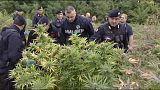 """Kiirtottak egy """"marihuána-erdőt"""" Bologna mellett"""