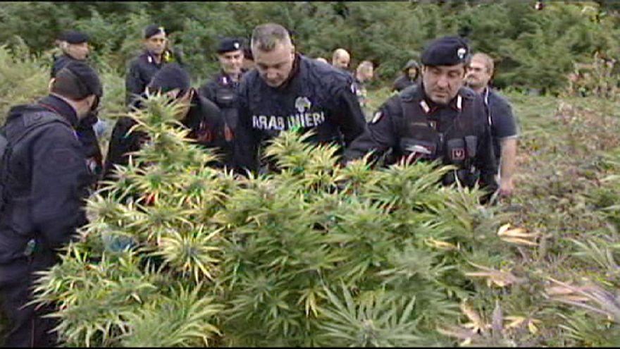 Une plantation de marijuana arrachée par la police en Italie