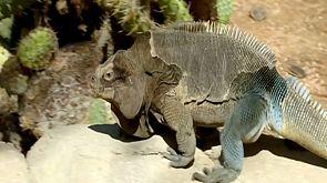 San Diego: Lebenstraining für vom Aussterben bedrohten Leguan