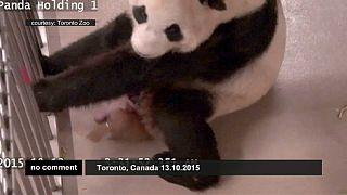Naissance de deux pandas géant au zoo de Toronto