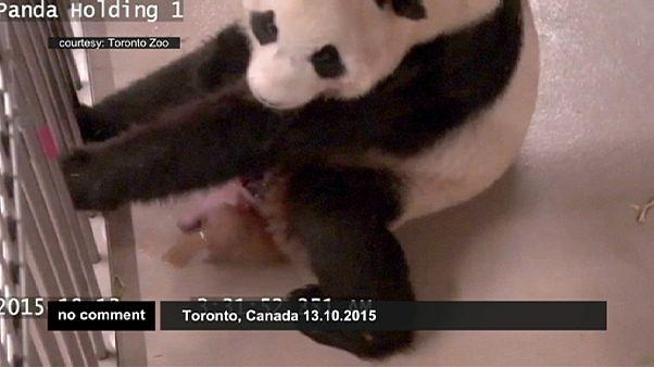 Két óriáspanda bocs született Torontóban