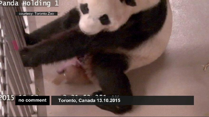 Toronto'da 2 dev panda
