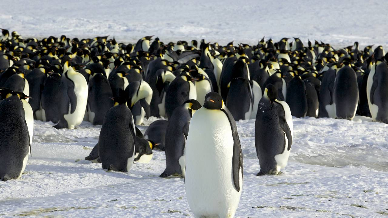 Image: Emperor penguins