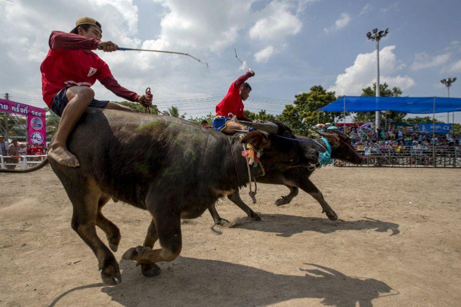 Course de buffles en Thaïlande